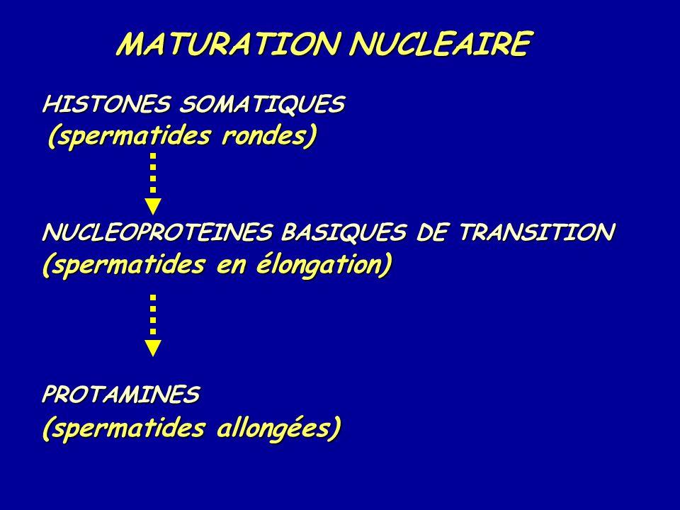 MATURATION NUCLEAIRE (spermatides rondes) (spermatides en élongation)