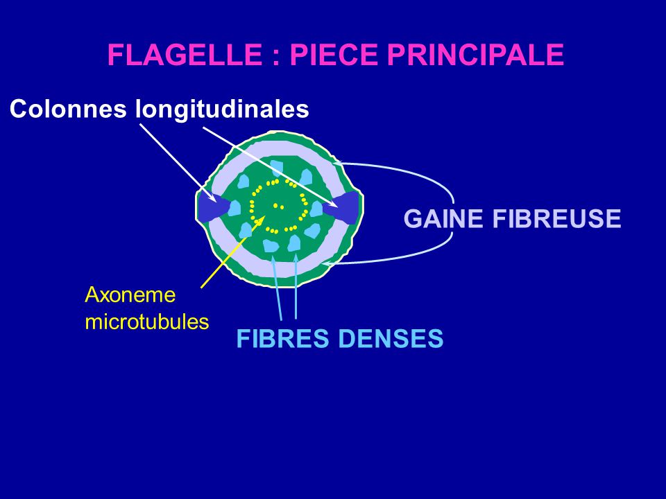 FLAGELLE : PIECE PRINCIPALE