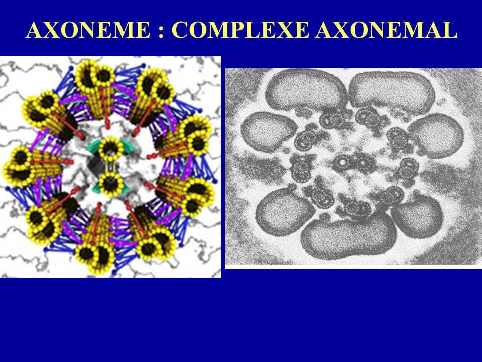 AXONEME : COMPLEXE AXONEMAL