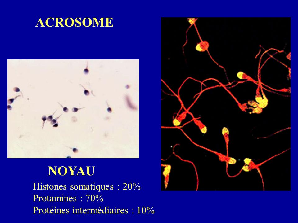 ACROSOME NOYAU Histones somatiques : 20% Protamines : 70%