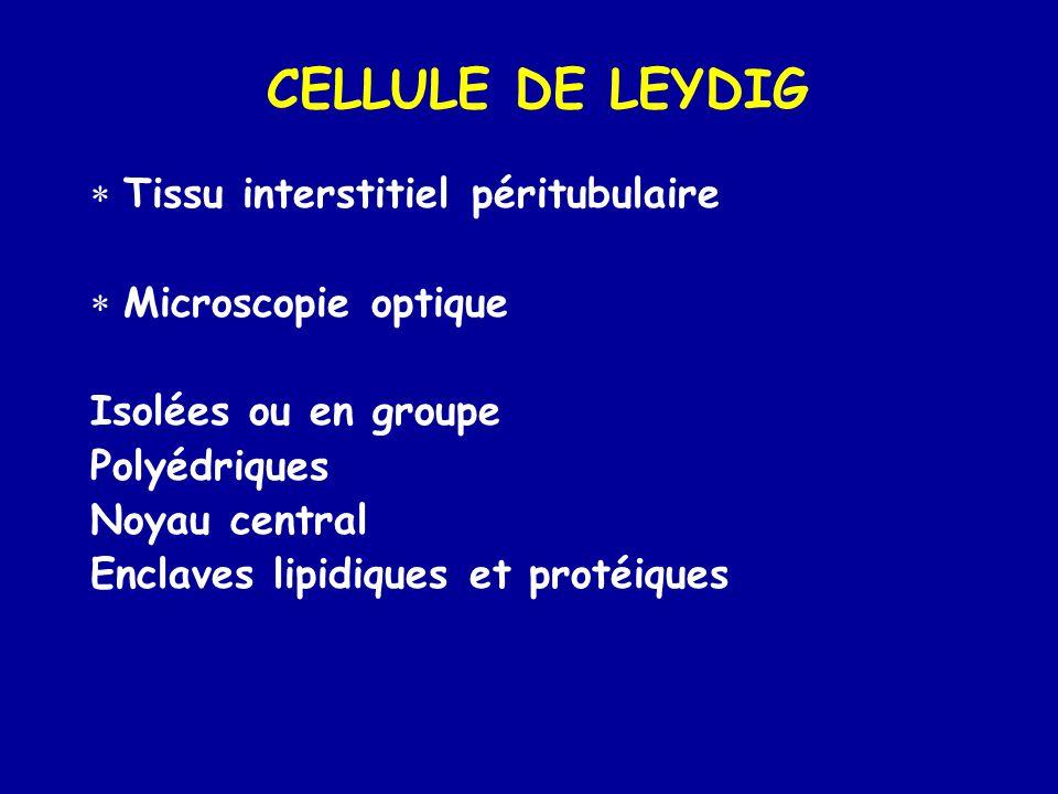 CELLULE DE LEYDIG Tissu interstitiel péritubulaire Microscopie optique