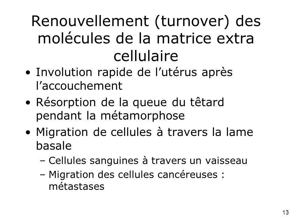 Renouvellement (turnover) des molécules de la matrice extra cellulaire