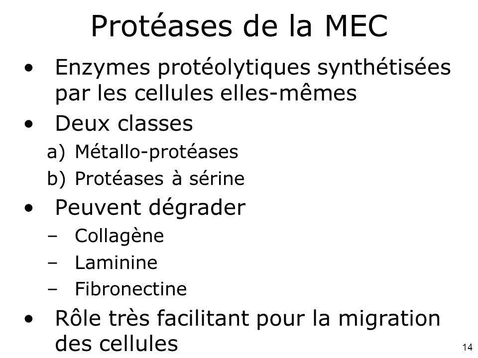 Protéases de la MEC Mardi 12 février 2008. Enzymes protéolytiques synthétisées par les cellules elles-mêmes.