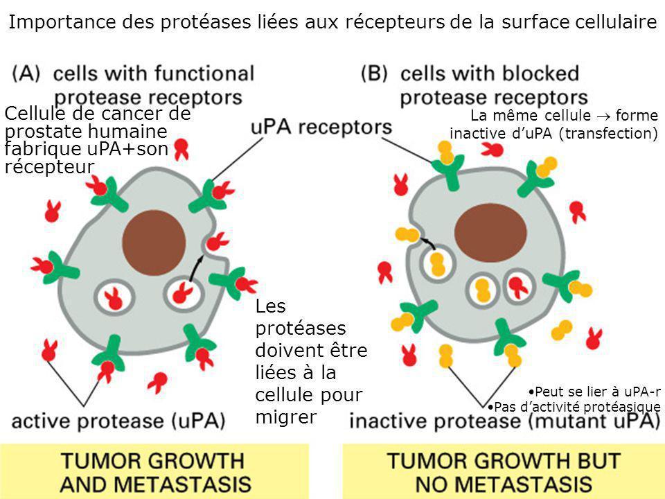 Importance des protéases liées aux récepteurs de la surface cellulaire