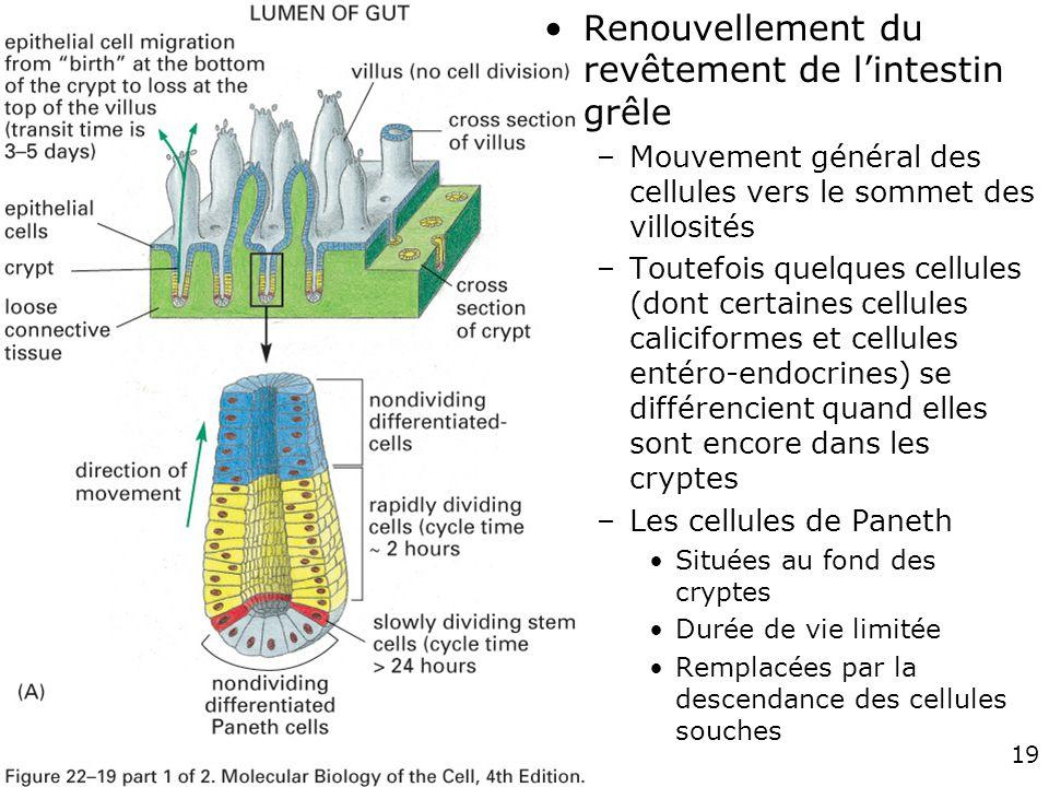 Fig 22-19 A Renouvellement du revêtement de l'intestin grêle