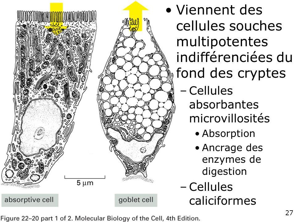 Viennent des cellules souches multipotentes indifférenciées du fond des cryptes