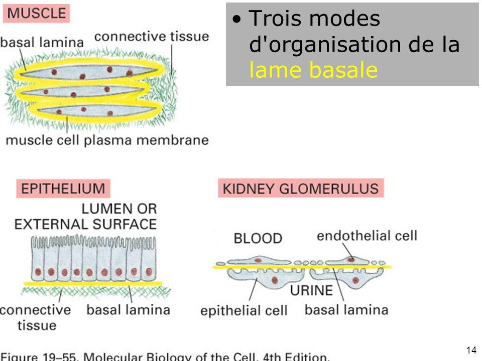 Fig 19-55 Trois modes d organisation de la lame basale #18p1106