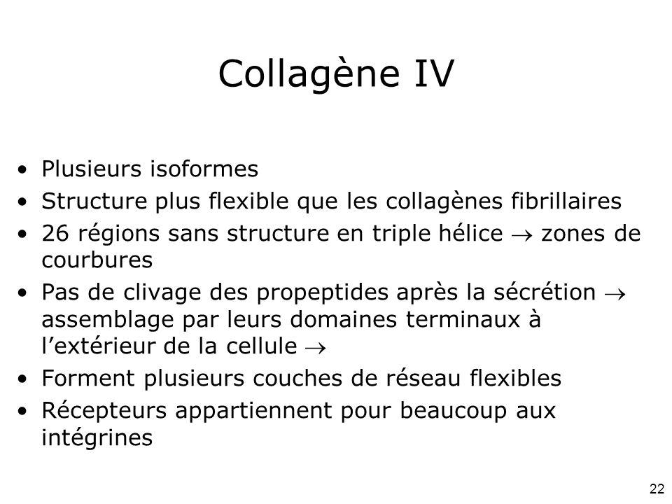 Collagène IV Plusieurs isoformes