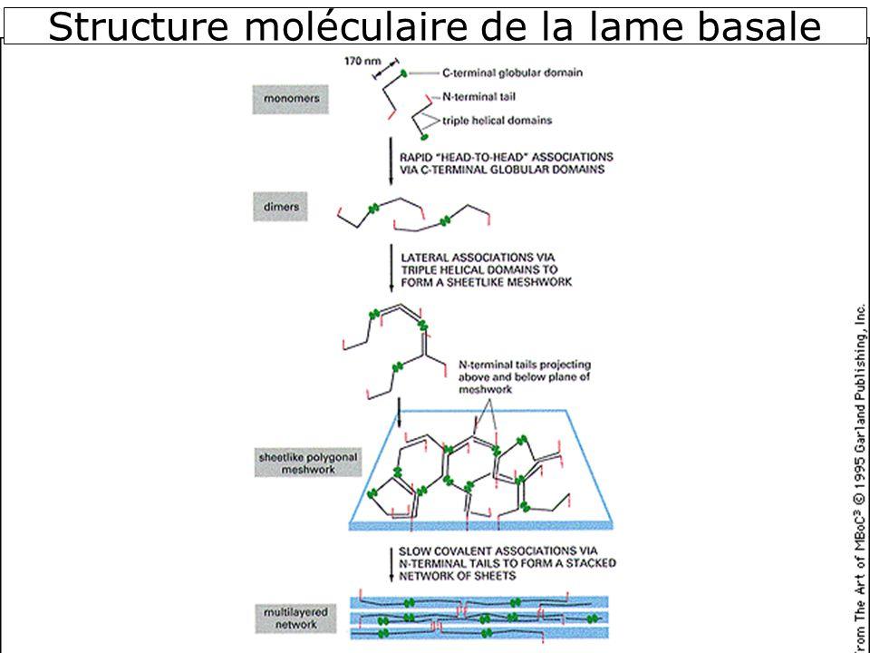 Structure moléculaire de la lame basale