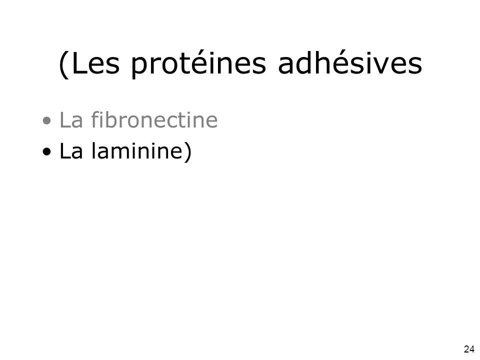 (Les protéines adhésives