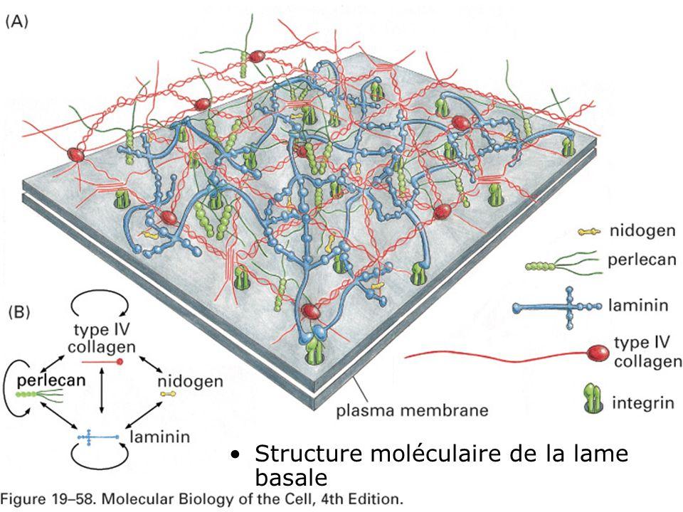 Fig 19-58(AB) Structure moléculaire de la lame basale #18p1107