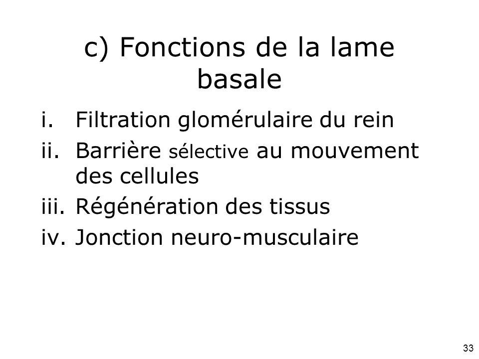 c) Fonctions de la lame basale