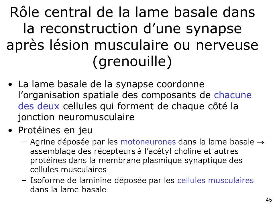 Mardi 12 février 2008 Rôle central de la lame basale dans la reconstruction d'une synapse après lésion musculaire ou nerveuse (grenouille)