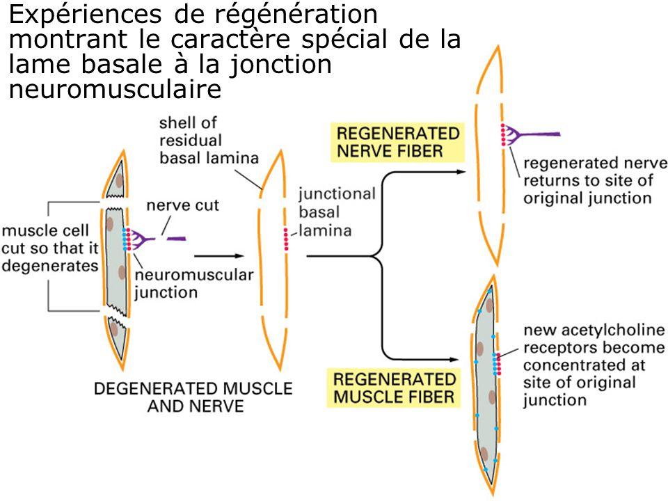 Expériences de régénération montrant le caractère spécial de la lame basale à la jonction neuromusculaire