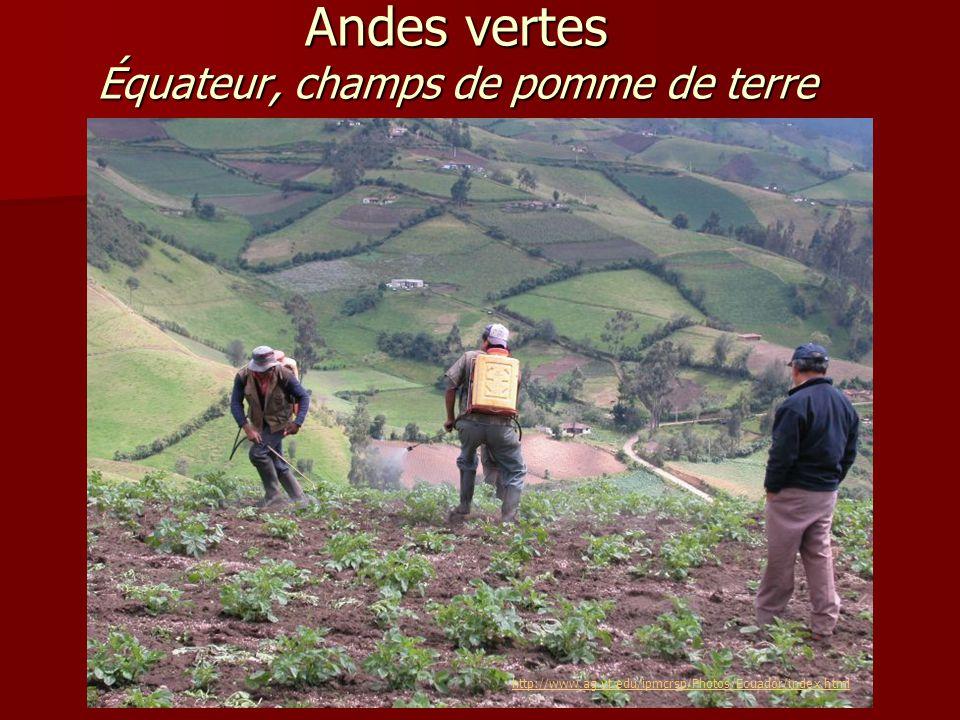 Andes vertes Équateur, champs de pomme de terre