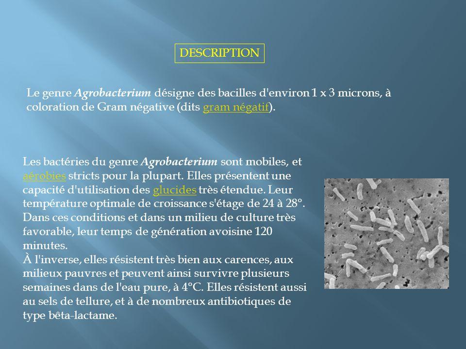 DESCRIPTION Le genre Agrobacterium désigne des bacilles d environ 1 x 3 microns, à coloration de Gram négative (dits gram négatif).