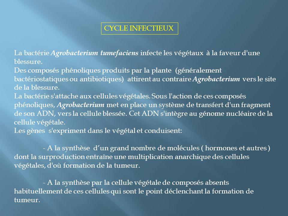 CYCLE INFECTIEUX La bactérie Agrobacterium tumefaciens infecte les végétaux à la faveur d une blessure.