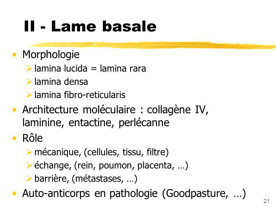 II - Lame basale Morphologie