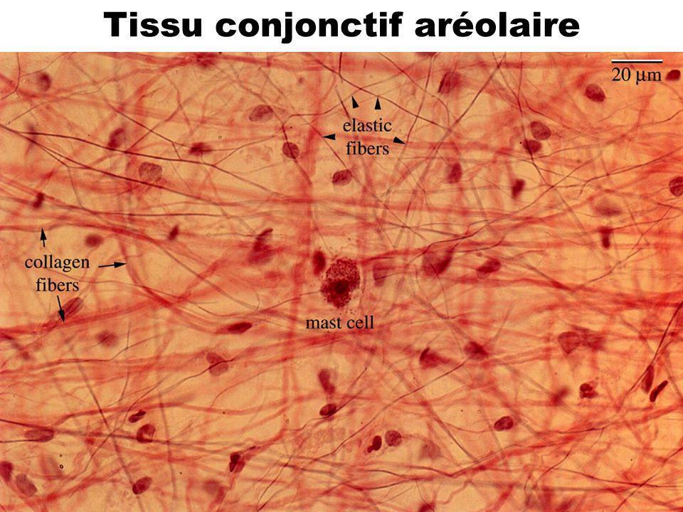 Tissu conjonctif aréolaire