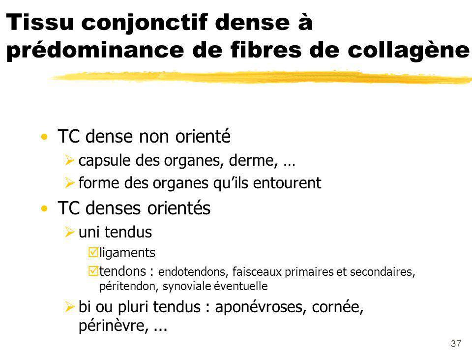 Tissu conjonctif dense à prédominance de fibres de collagène