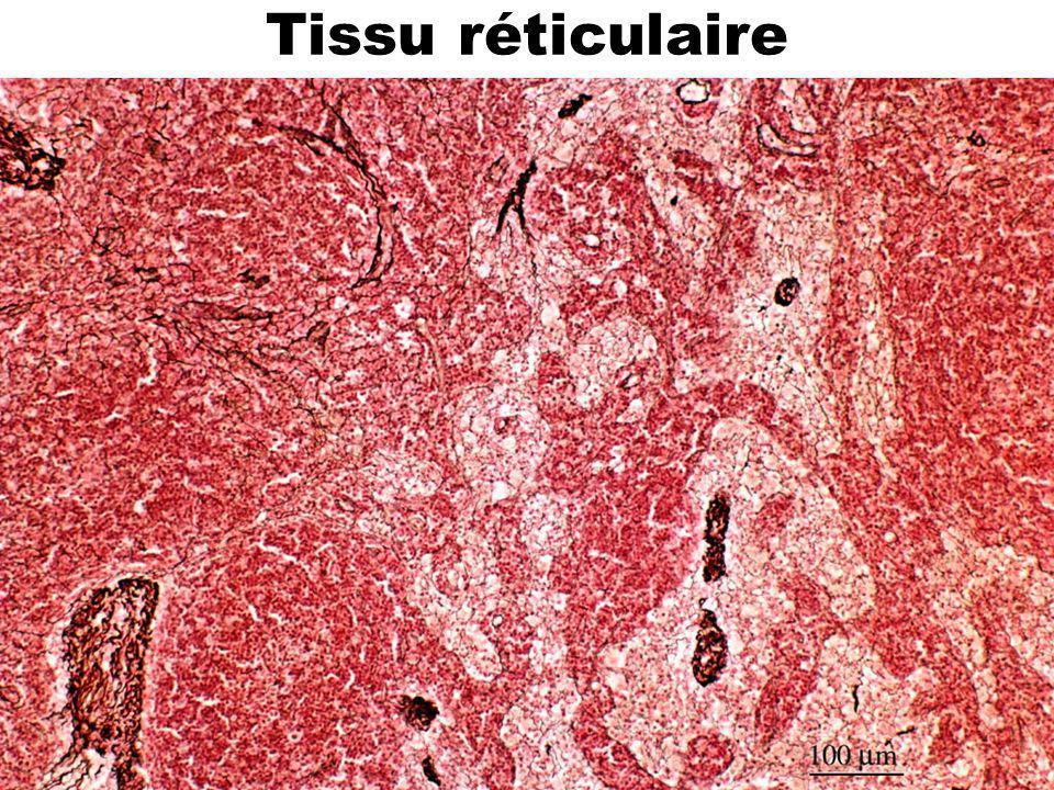 Tissu réticulaire