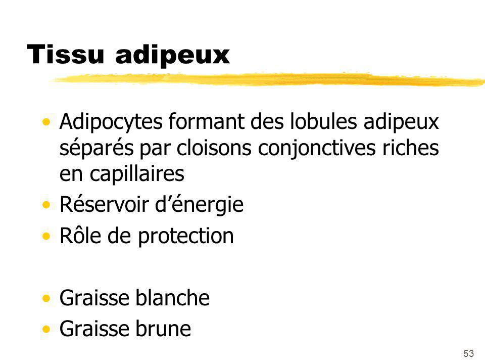 Tissu adipeux Adipocytes formant des lobules adipeux séparés par cloisons conjonctives riches en capillaires.