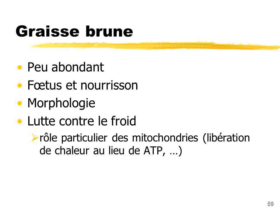 Graisse brune Peu abondant Fœtus et nourrisson Morphologie