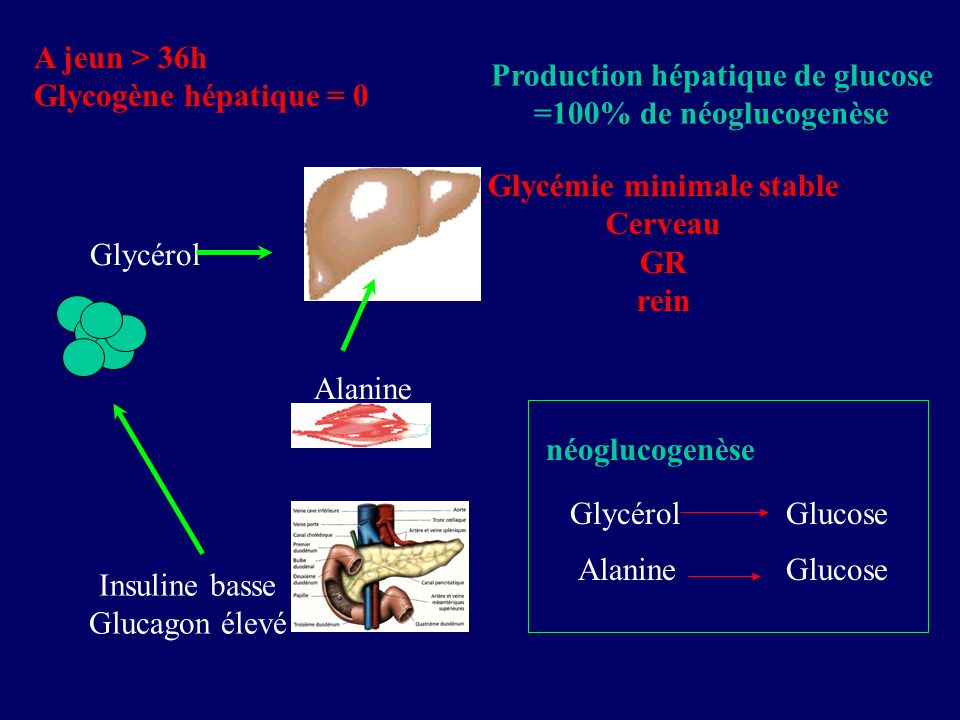 Production hépatique de glucose Glycémie minimale stable