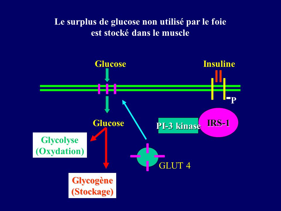 Le surplus de glucose non utilisé par le foie