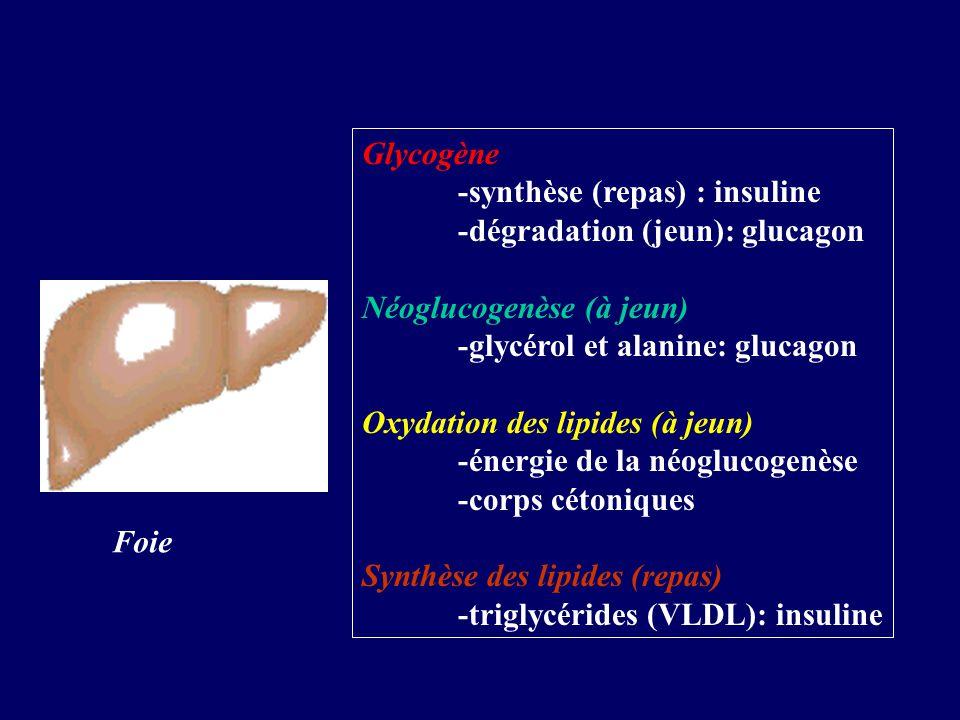 Glycogène -synthèse (repas) : insuline. -dégradation (jeun): glucagon. Néoglucogenèse (à jeun) -glycérol et alanine: glucagon.