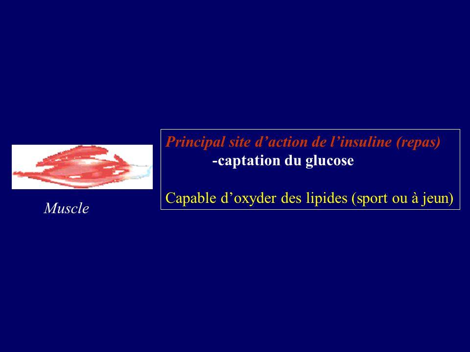 Principal site d'action de l'insuline (repas)