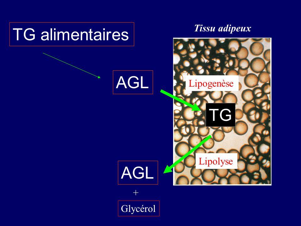TG alimentaires AGL TG AGL Tissu adipeux Lipogenèse Lipolyse +