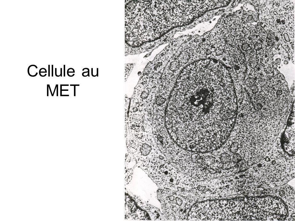 Cellule au MET