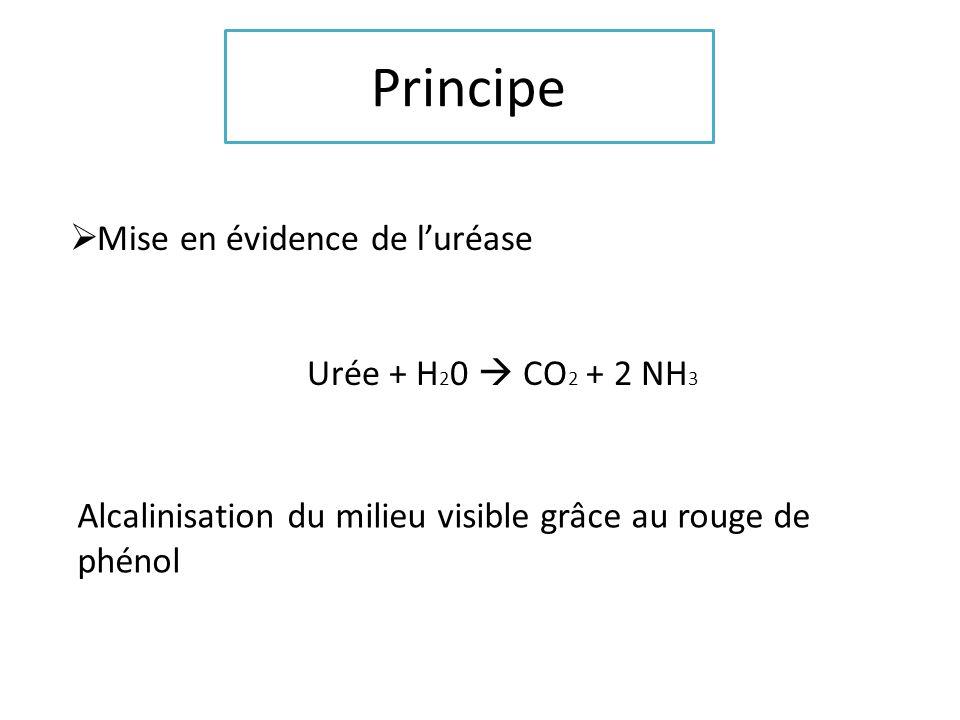 Principe Mise en évidence de l'uréase Urée + H20  CO2 + 2 NH3