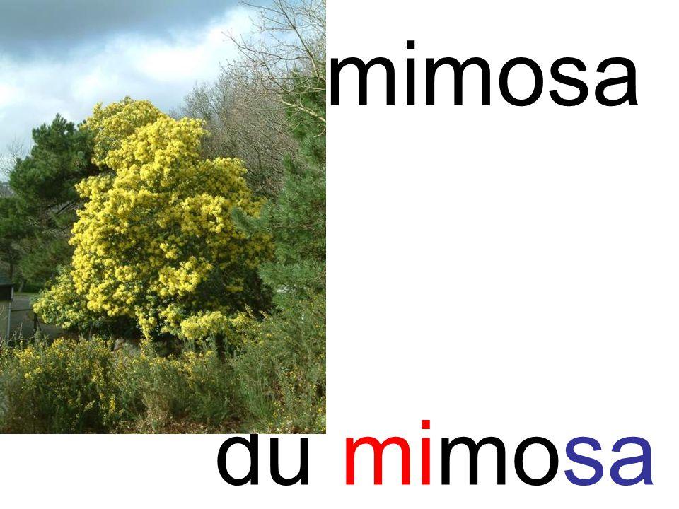 mimosa mi du mimosa