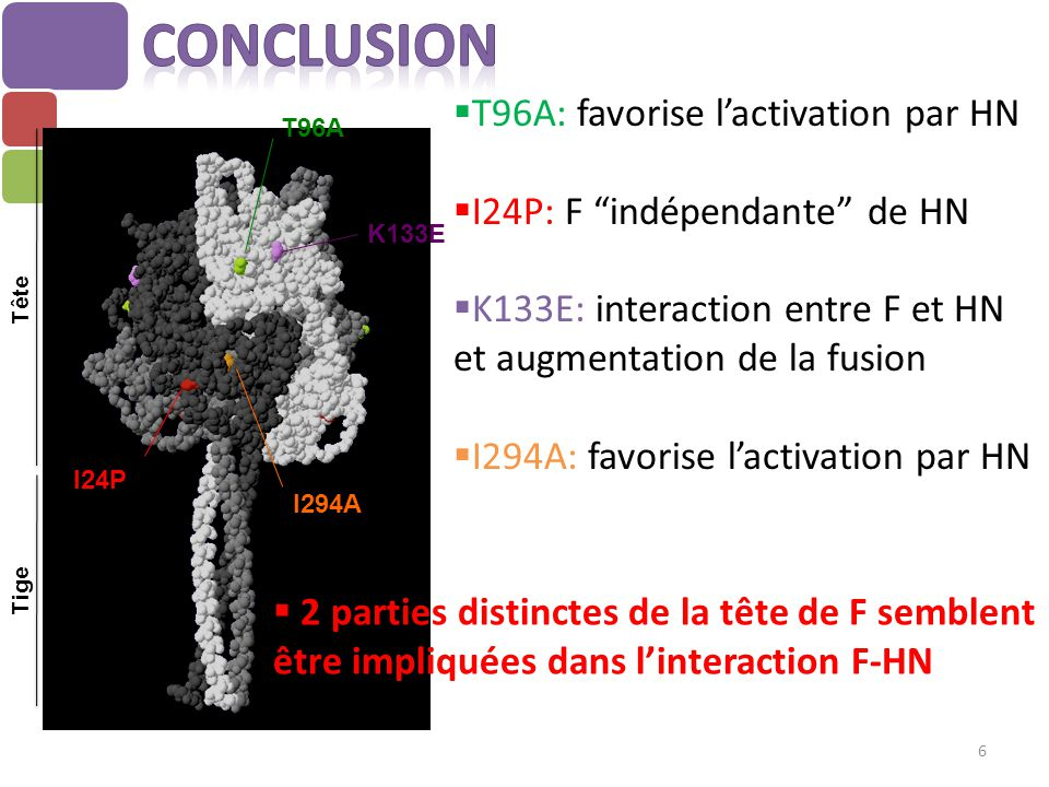Conclusion T96A: favorise l'activation par HN