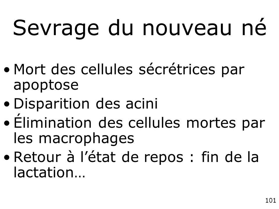 Sevrage du nouveau né Mort des cellules sécrétrices par apoptose