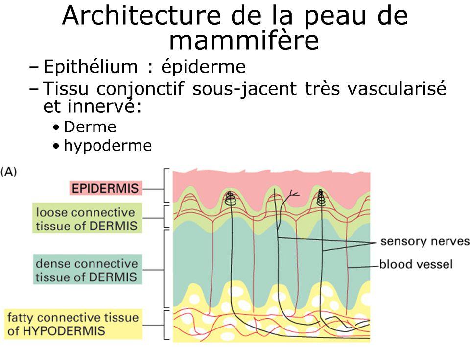 Architecture de la peau de mammifère