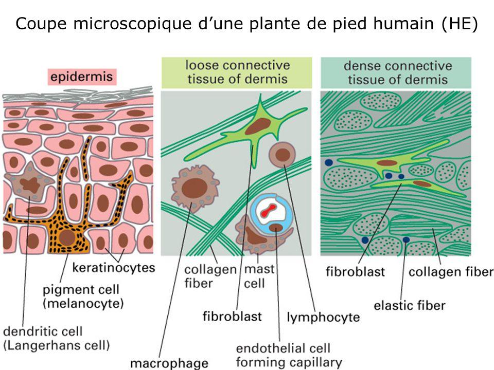 Coupe microscopique d'une plante de pied humain (HE)