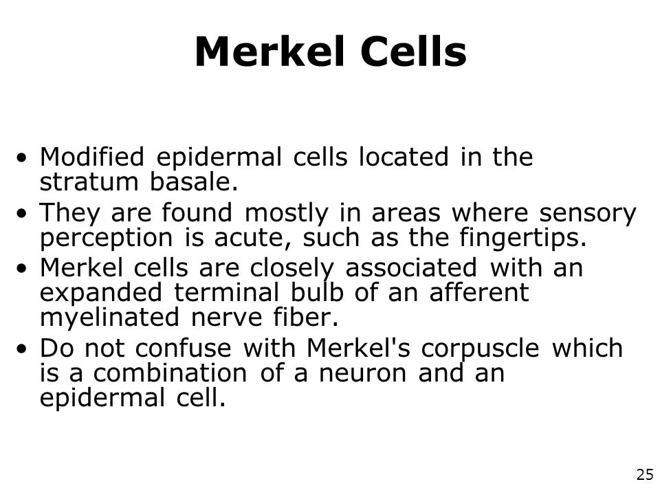 Merkel Cells Modified epidermal cells located in the stratum basale.