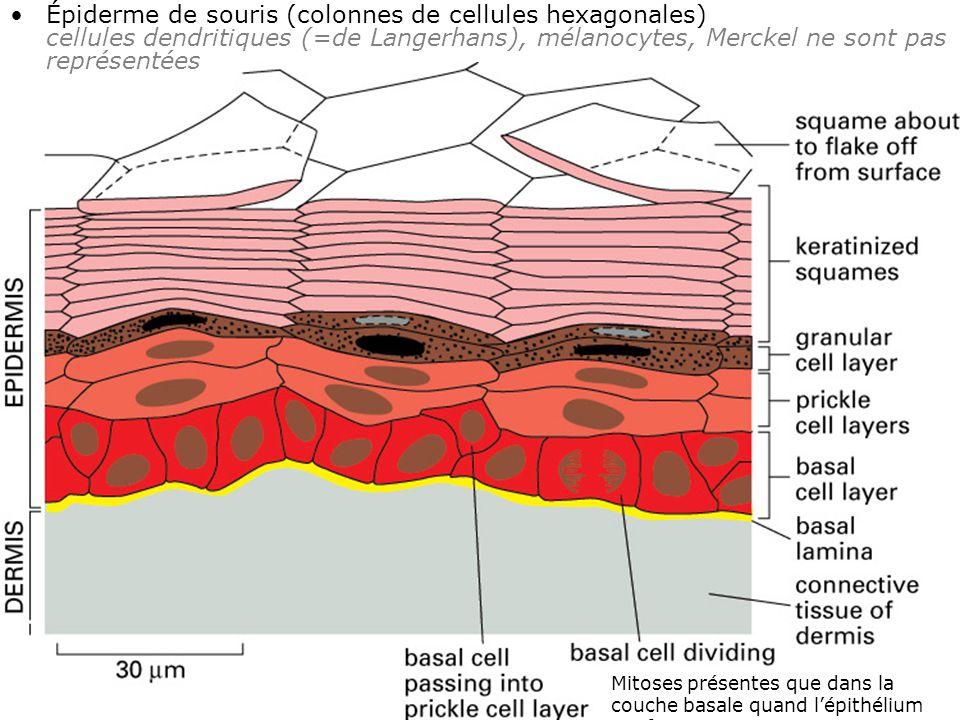 Épiderme de souris (colonnes de cellules hexagonales) cellules dendritiques (=de Langerhans), mélanocytes, Merckel ne sont pas représentées