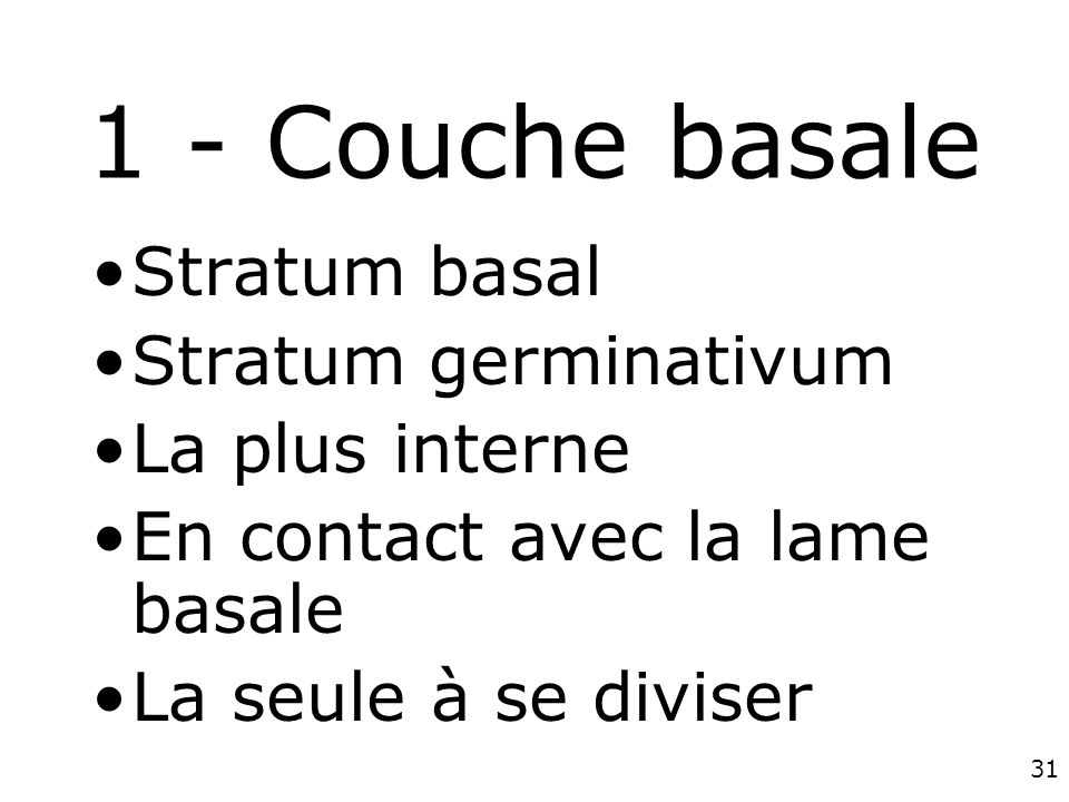 1 - Couche basale Stratum basal Stratum germinativum La plus interne