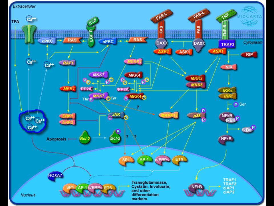 Différenciation du kératinocyte