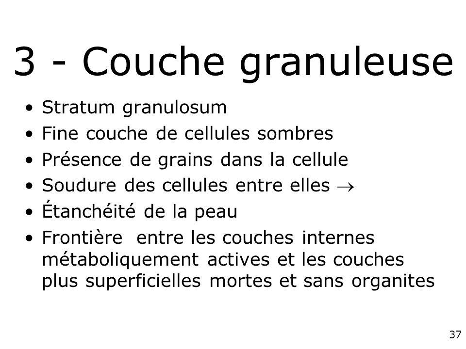 3 - Couche granuleuse Stratum granulosum