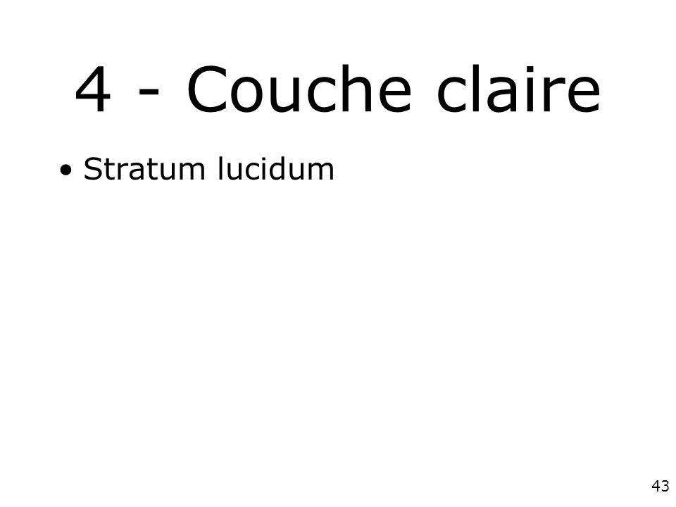 4 - Couche claire Stratum lucidum #1p1261