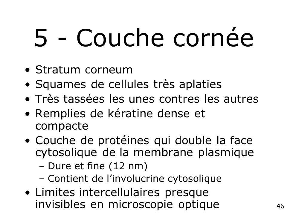 5 - Couche cornée Stratum corneum Squames de cellules très aplaties