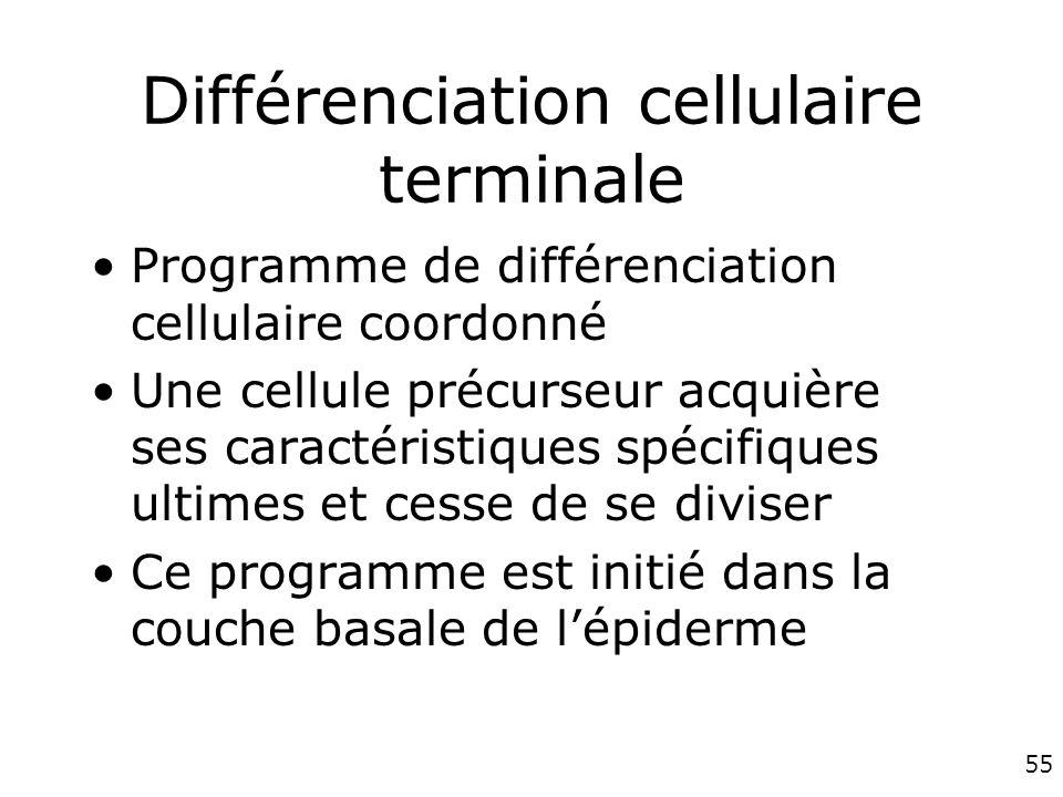 Différenciation cellulaire terminale