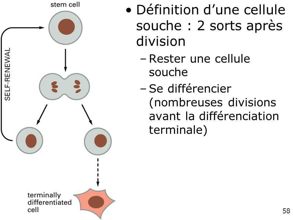 fig. 22-4 Définition d'une cellule souche : 2 sorts après division