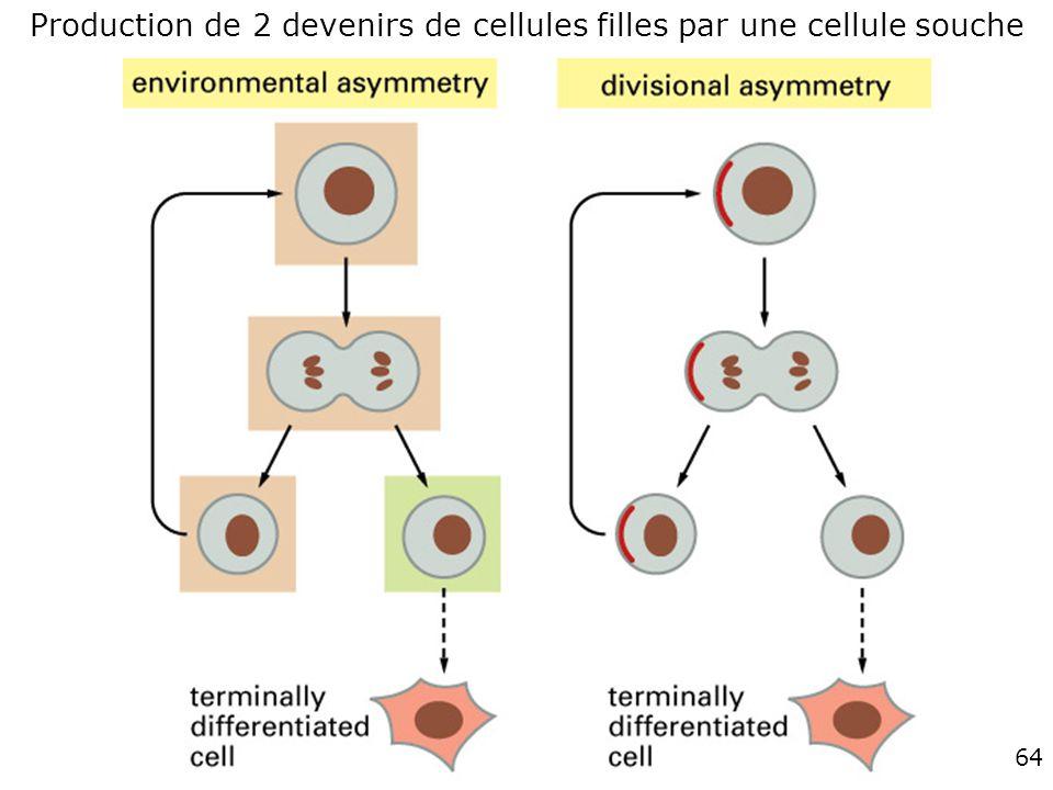 Production de 2 devenirs de cellules filles par une cellule souche