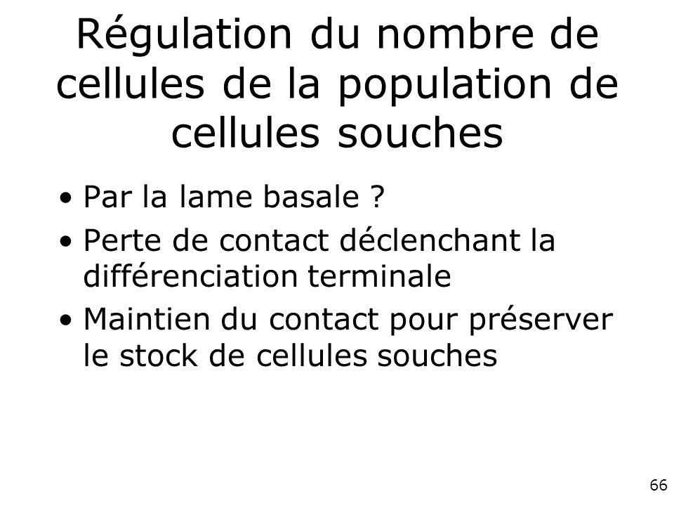 Régulation du nombre de cellules de la population de cellules souches
